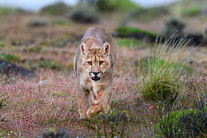 RF - Puma (Puma concolor puma), young male walking in grassland, near Torres del Paine National Park, Patagonia, Chile. December. (This image may be licensed either as rights managed or royalty free.) - Nick Garbutt