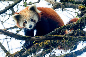 RF - Western red panda (Ailurus fulgens fulgens) sitting in tree, looking down. Singalila National Park, India / Nepal border. March. (This image may be licensed either as rights managed or royalty fr...  -  Nick Garbutt