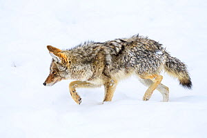RF - Coyote (Canis latrans) foraging on ice. Madison Valley, Yellowstone National Park, USA. February. (This image may be licensed either as rights managed or royalty free.)  -  Nick Garbutt