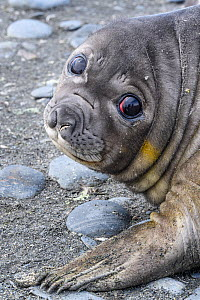 RF - Southern elephant seal (Mirounga leonina) pup, portrait. Gold Harbour, South Georgia. November. (This image may be licensed either as rights managed or royalty free.)  -  Nick Garbutt