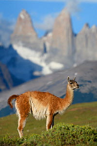 RF - Guanaco (Lama guanicoe) standing in front of mountain towers of Paine. Torres del Paine National Park, Patagonia, Chile. December 2018. (This image may be licensed either as rights managed or roy... - Nick Garbutt