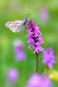 RF - Black veined white butterfly (Aporia crataegi) nectaring on Fragrant orchid (Gymnadenia conopsea). North Tyrol, Austria, June. (This image may be licensed either as rights managed or royalty free...  -  Nick Garbutt