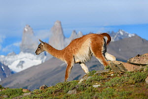 RF - Guanaco (Lama guanicoe) walking down slope with mountain towers of Paine in background, Torres del Paine National Park, Patagonia, Chile. December 2018. (This image may be licensed either as righ... - Nick Garbutt