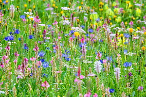 RF - Wildflowers flowering in ancient alpine meadow. North Tyrol, Austria. June. (This image may be licensed either as rights managed or royalty free.)  -  Nick Garbutt