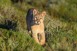 RF - Puma (Puma concolor puma), young male walking on hillside near Torres del Paine National Park, Patagonia, Chile. November. (This image may be licensed either as rights managed or royalty free.) - Nick Garbutt