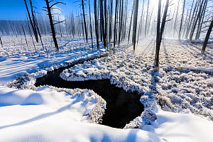 RF - Rays of sunshine through dead tree trunks along winding river, in snow on misty morning. Firehole Valley. Yellowstone National Park, USA. January (This image may be licensed either as rights mana...  -  Nick Garbutt