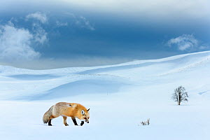 RF - Red fox (Vulpes vulpes) foraging in snow covered valley. Hayden Valley, Yellowstone National Park, USA. February 2019. (This image may be licensed either as rights managed or royalty free.) - Nick Garbutt