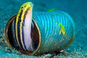 RF - Shorthead fangblenny (Petroscrites breviceps) living in a discarded tin-can, with a pair of pygmy lemon gobies (Lubricogobius exiguus). Dauin, Philippines.  -  Alex Mustard