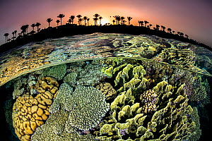 RF - Split level photo of a coral reef with hard corals (Acropora sp., Millepora sp. and Pocillopora sp.) and the shore with palm trees, at sunset. Red Sea  -  Alex Mustard