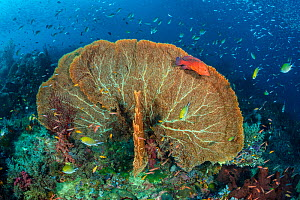 RF - Coral grouper (Cephalopholis miniata) guards its terriroty on a coral reef, with a sea fan (Annella sp.). Raja Ampat. - Alex Mustard
