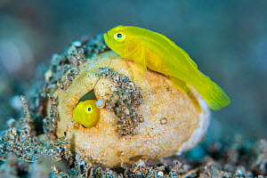 RF - A pair of pygmy lemon gobies (yellow pygmy goby: Lubricogobius exiguus) make their home in an old heart urchin (sea mouse: Maretia sp.) test. Dauin, Philippines. - Alex Mustard
