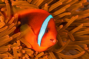 RF - Tomato anemonefish (Amphiprion frenatus) barks a warning from her fluorescent anemone home. Philippines  -  Alex Mustard