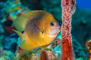 Three spot damselfish (Stegastes planifrons) guards his eggs. East End, Grand Cayman, Cayman Islands, British West Indies. Caribbean Sea. - Alex Mustard
