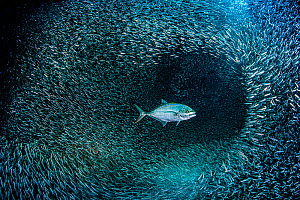 Bar jack (Caranx ruber) hunting a school of silversides (Atherinidae) in a coral cavern. George Town, Grand Cayman, Cayman Islands, British West Indies. Caribbean Sea.  -  Alex Mustard