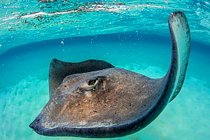 Southern stingray (Dasyatis americana) female swimming over seabed. Grand Cayman, Cayman Islands. British West Indies. Caribbean Sea.  -  Alex Mustard