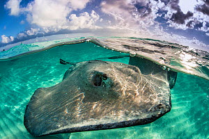 A split level photo of a female southern stingray (Dasyatis americana) swimming over seabed. Grand Cayman, Cayman Islands. British West Indies. Caribbean Sea.  -  Alex Mustard