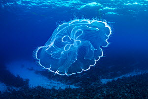 Moon jelly (Aurelia aurita) drifts over a coral reef. East End, Grand Cayman, Cayman Islands, British West Indies. Caribbean Sea.  -  Alex Mustard