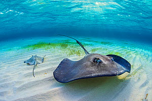 Southern stingrays (Dasyatis americana) in shallow water. with sun rays. Grand Cayman, Cayman Islands. British West Indies. Caribbean Sea.  -  Alex Mustard