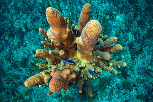 View down on a pillar coral (Dendrogyra cylindrus) growing on a coral reef, with blue tangs. Jardines de la Reina, Gardens of the Queen National Park, Cuba. Caribbean Sea. - Alex Mustard