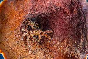 West Indian spider crab (Mithrax spinosissimus) shelter in a giant barrel sponge (Xestospongia muta) on a coral reef. Jardines de la Reina, Gardens of the Queen National Park, Cuba. Caribbean Sea.  -  Alex Mustard