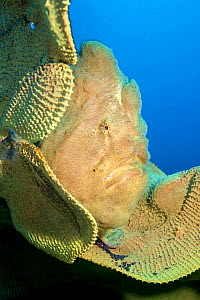 Portrait of a Giant frogfish (Antennarius commersoni) on a large Yellow elephant ear sponge (Ianthella basta) on a coral reef. Bitung, North Sulawesi, Indonesia. Lembeh Strait, Molucca Sea.  -  Alex Mustard