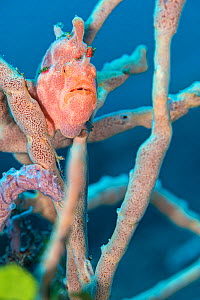 Painted frogfish (Antennarius pictus) hides amongst rope sponges on a coral reef. Bitung, North Sulawesi, Indonesia. Lembeh Strait, Molucca Sea.  -  Alex Mustard