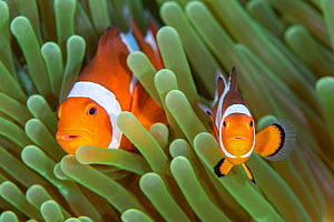 Western clown anemonefish (Amphiprion ocellaris) poses with a large, dominant female behind. The clownfish in the foreground is probably a juvenile. Bitung, North Sulawesi, Indonesia. Lembeh Strait, M...  -  Alex Mustard