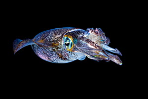 Bigfin reef squid (Sepioteuthis lessoniana) with a captured rabbitfish (Siganus sp.) in its arms, at night. ;Bitung, North Sulawesi, Indonesia. Lembeh Strait, Molucca Sea.  -  Alex Mustard