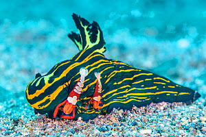 Pair of Emperor shrimp (Zenopontonia rex / Periclimenes imperator) female is the larger one, hitch a ride on a large nudibranch (Tambja luteolineata) and pick food from the seabed with their claws. Bi...  -  Alex Mustard
