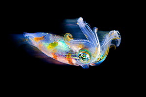 Long exposure of a bigfin reef squid (Sepioteuthis lessoniana) in open water at night. Bitung, North Sulawesi, Indonesia. Lembeh Strait, Molucca Sea..  -  Alex Mustard