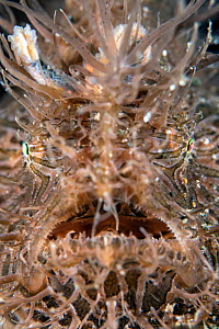 Portrait of the face of a Hairy frogfish (Antennarius striatus). Anilao, Batangas marine protected area, Luzon, Philippines. Verde Island Passages, Tropical West Pacific Ocean. - Alex Mustard
