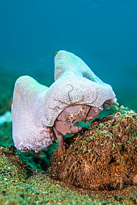 Sleepy sponge crab (Dromia dormia) climbing over a rock, carrying its sea squirt (Didemnum molle) disguise, with brittlestar. Anilao, Batangas marine protected area, Luzon, Philippines. Verde Island P... - Alex Mustard