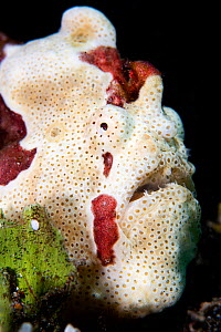 Portrait of a White warty frogfish (Antennartius maculatus). Anilao, Batangas marine protected area, Luzon, Philippines. Verde Island Passages, Tropical West Pacific Ocean.  -  Alex Mustard