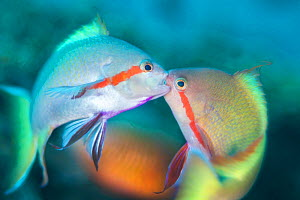 Threadfin anthias (Pseudanthias huchti) males locking jaws as they fight over territory on a coral reef. Dauin, Dauin Marine Protected Area, Dumaguete, Negros, Philippines. Bohol Sea, tropical west Pa...  -  Alex Mustard