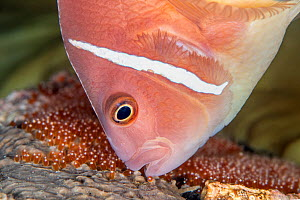 Pink anemonefish (Amphiprion perideraion) tends a clutch of new eggs (revealed by their red colour) beneath its host anemone (magnificent sea anemone: Heteractis magnifica). Dauin, Dumaguete, Negros,...  -  Alex Mustard