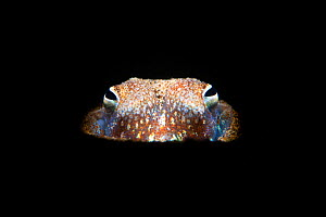 Portrait of a Tropical bottletail squid (Sepiadarium kochi) partially buried in sand and illuminated in a beam of light, at night. Dauin, Dauin Marine Protected Area, Dumaguete, Negros, Philippines. B... - Alex Mustard
