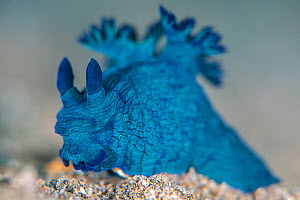 Nudibranch (Nembrotha milleri) on the seabed. Dauin, Dauin Marine Protected Area, Dumaguete, Negros, Philippines. Bohol Sea, tropical west Pacific Ocean.  -  Alex Mustard