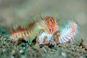 Interaction, possibly predation, between two polychaete worms (Chloeia sp). Dauin, Dauin Marine Protected Area, Dumaguete, Negros, Philippines. Bohol Sea, tropical west Pacific Ocean.  -  Alex Mustard