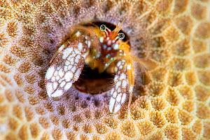 Portrait of Morgan's coral hermit crab (Paguritta morgani) looking out of its burrow in a hard coral colony. These hermit crabs are sedentary, remaining in their burrows, rather than carrying arou... - Alex Mustard
