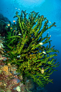Large green branching coral (Tubastrea sp.) with damselfish on a coral reef. Misool, Raja Ampat, West Papua, Indonesia. Misool Marine Protected Area. Ceram Sea. Tropical West Pacific Ocean. - Alex Mustard
