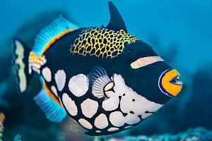 A portrait of a clown triggerfish (Balistoides conspicillum) on a coral reef. Misool, Raja Ampat, West Papua, Indonesia. Misool Marine Protected Area. Ceram Sea. Tropical West Pacific Ocean.  -  Alex Mustard