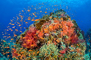 A colourful coral pinnacle, with orange scalefin anthias (Pseudanthias squamipinnis) swarming over red and orange soft corals (Dendronephthya sp. and Scleronephthya sp.) and hard corals, in a current....  -  Alex Mustard