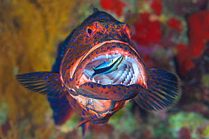 Bluestreak cleaner wrasse (Labroides dimidiatus) cleans among the sharp teeth of a predatory roving coral grouper (Plectropomus pessuliferus) beneath an overhang on a coral reef. Ras Mohammed National...  -  Alex Mustard