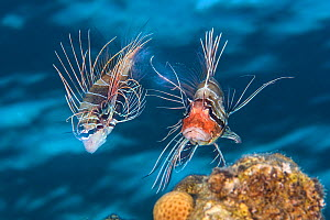 Clearfin lionfish (Pterois radiata) mating. The female (left) has just released a raft of eggs, which is visible between her tail and the red face of the male. Taken around dusk, during the summer in...  -  Alex Mustard