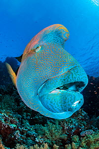 Napoleon wrasse (Cheilinus undulatus) on a coral reef. Ras Mohammed National Park, Sinai, Egypt. Red Sea - Alex Mustard