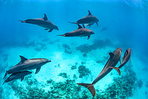 Pod of Indo-Pacific bottlenose dolphins (Tursiops adunctus) swim above a coral reef. Sha'ab El Erg, Hurghada, Egypt. Red Sea.  -  Alex Mustard