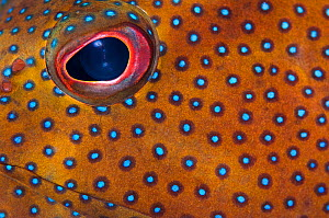 Detailed photo of the eye and pattern of a Coney (Epinephelus fulvus). George Town, Grand Cayman, Cayman Islands, British West Indies. Caribbean Sea.  -  Alex Mustard