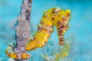 Yellow longsnout seahorse (Hippocampus reidi) female holds onto a sea rod with its prehensile tail, on a coral reef. West Bay, Grand Cayman, Cayman Islands, British West Indies. Caribbean Sea.  -  Alex Mustard