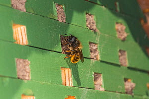 Red mason bee (Osmia bicornis) female sealing entrance to nest hole in bee nesting box. On wall of house, Cheshire, England, UK. May.  -  Alan  Williams