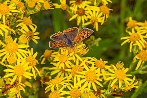 Small copper (Lycaena phlaeas) butterfly nectaring on Ragwort (Jacobaea vulgaris). Dee Estuary, near Hoylake, Wirral, England, UK. July.  -  Alan  Williams